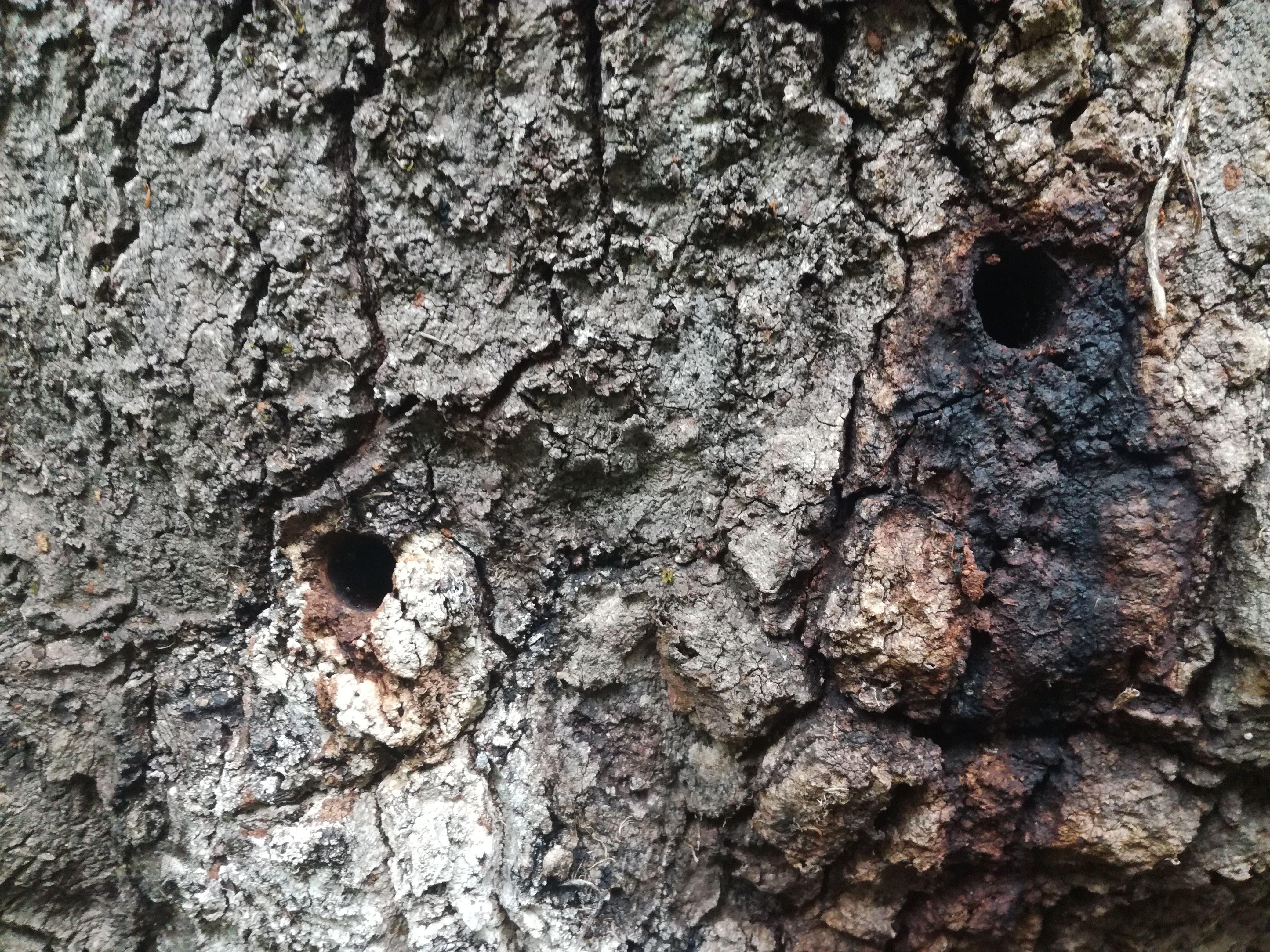 U izbušene rupe netko u stabla ulijeva tekućinu zbog koje se stabla suše / Snimio Mladen TRINAJSTIĆ