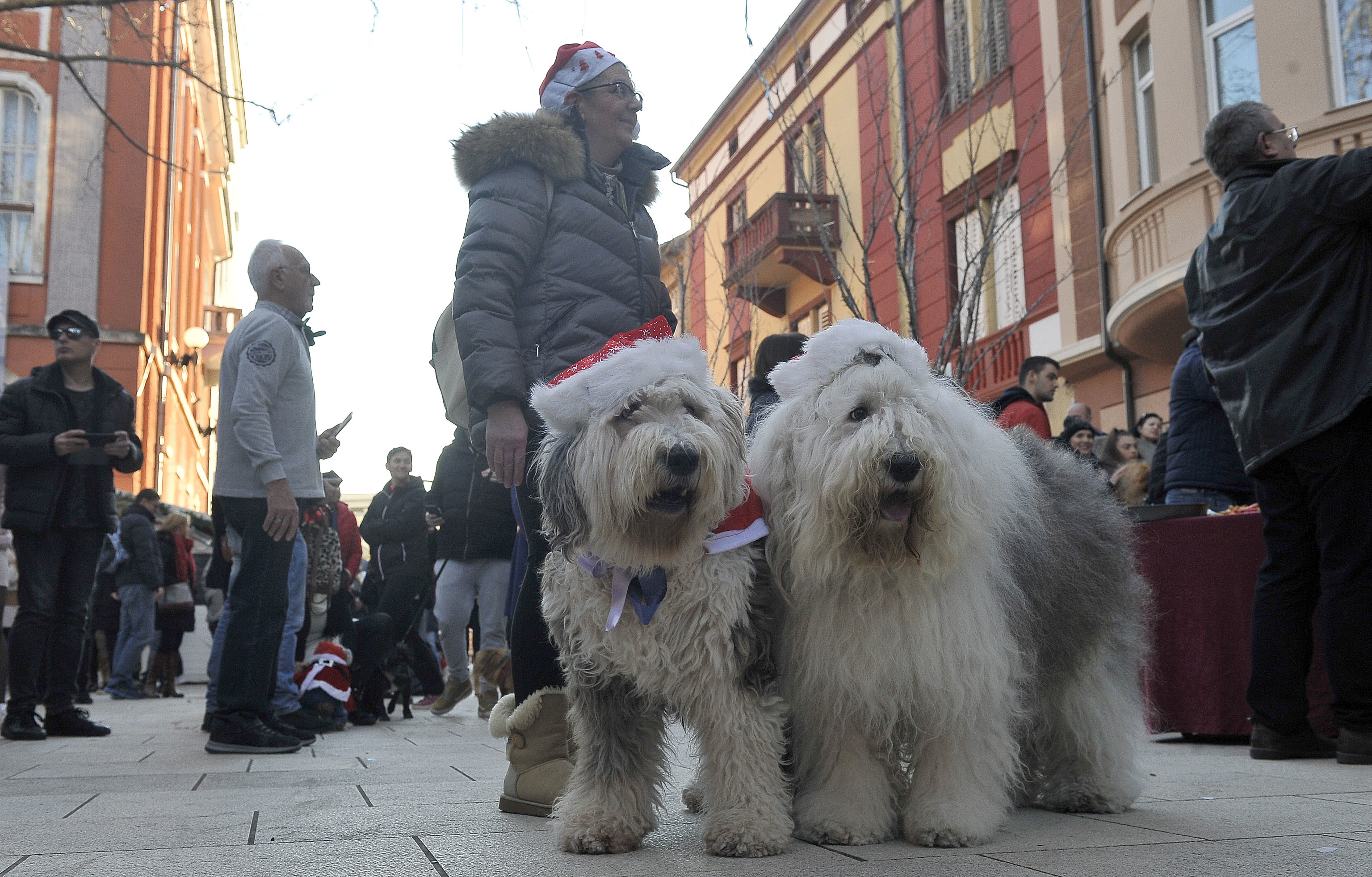 Gospođa Ida iz Dramlja dovela je dva staroengleska ovčara, pasmine koja se ne viđa često na hrvatskm ulicama / Snimio Roni BRMALJ