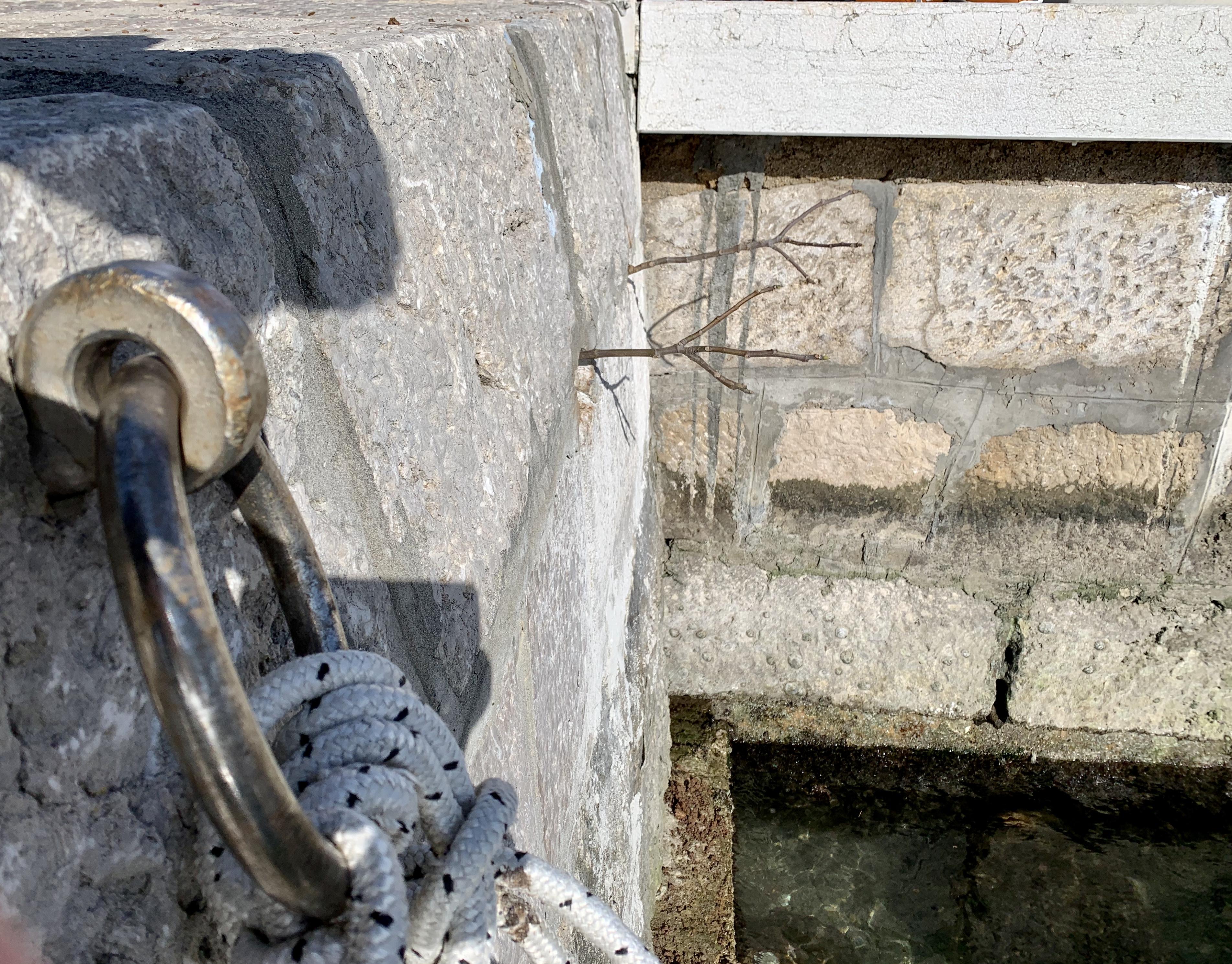 Sadnice smokve vire iz kamena Male palade