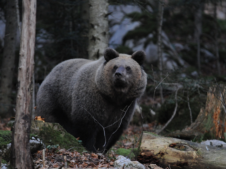 Medvjed / snimio Dario Stefančić