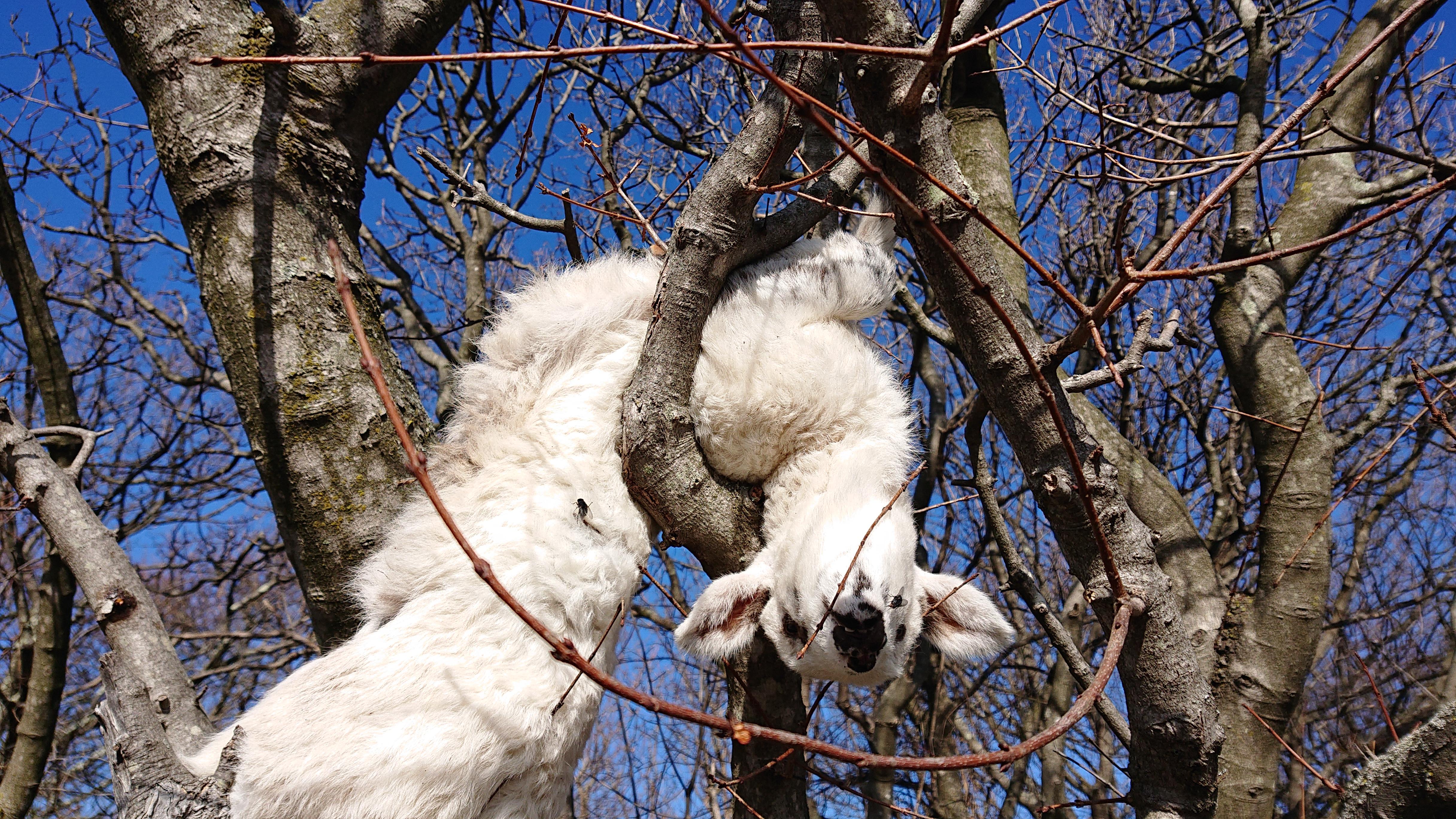 mrtva janjad na stablima, janjci, mrtvi janjci, Kampelje, otok Krk,