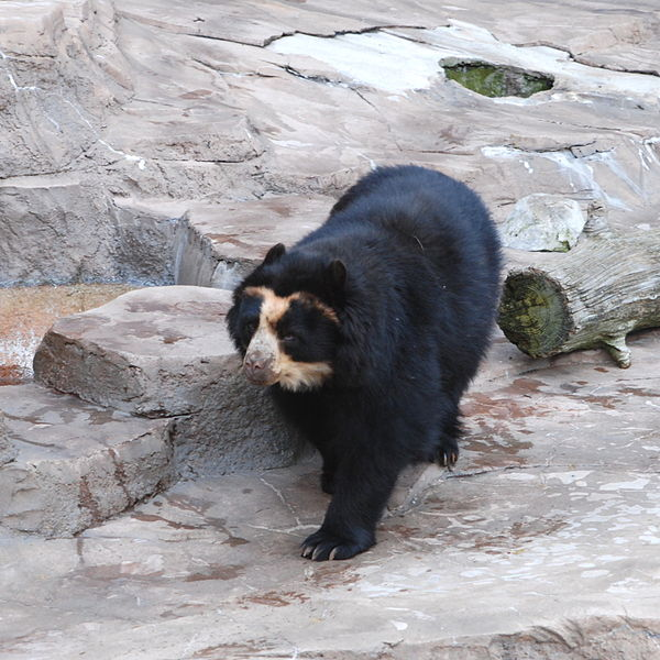 FOTO/Medvjed naočar, Wikipedija