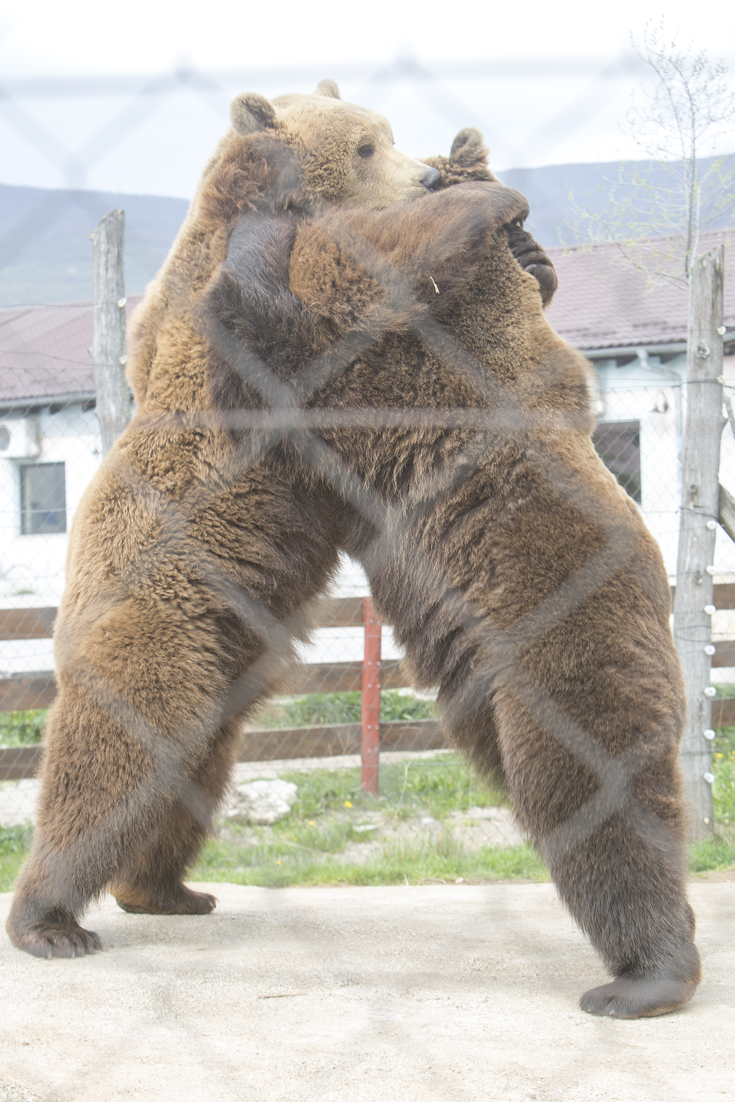 Medvjedi u Korenici