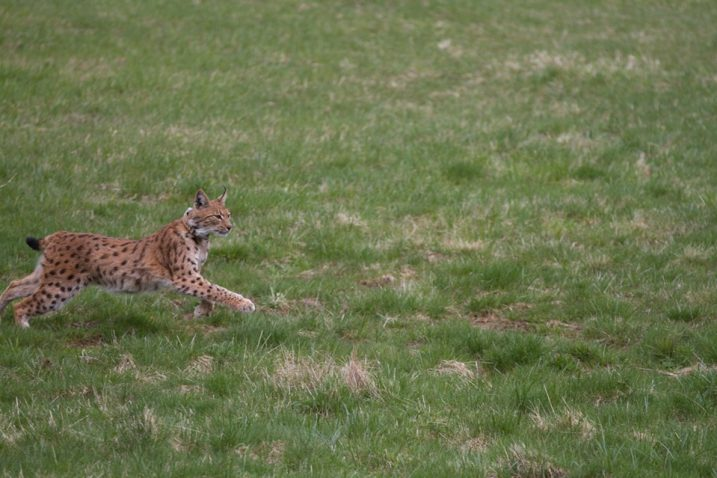 Foto: Vedran Slijepčević / Facebook LIFE Lynx - hrvatski terenski blog