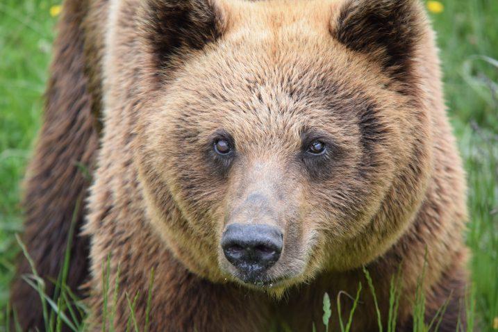 'Medvjedi su svejedi, a šuma je unatoč nerodnoj godini za njih ipak idealna smočnica', kaže Ivan Crnković Pavenka