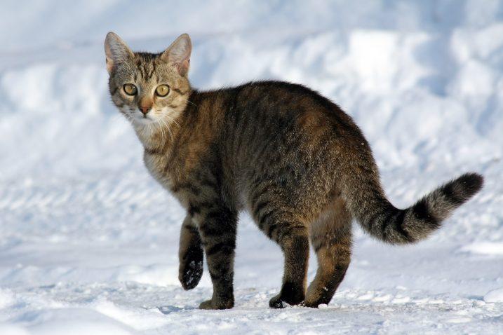 FOTO/Wikimedia/Fotografija ne prikazuje mačku iz teksta