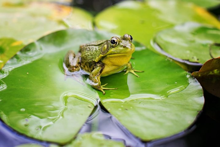 FOTO/Bull Frog/Pixabay