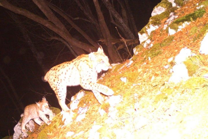 Foto Life Lynx