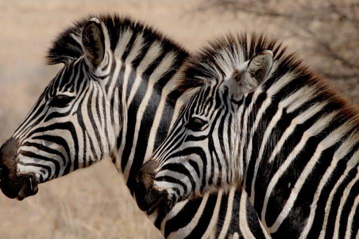 Foto/Pixabay - zebra