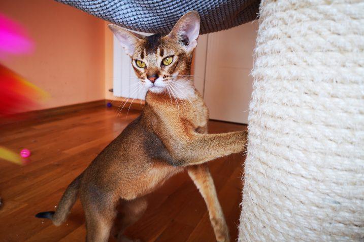 Abesinci su nježne mačke divljeg izgleda i iznimno zanimljivog karaktera