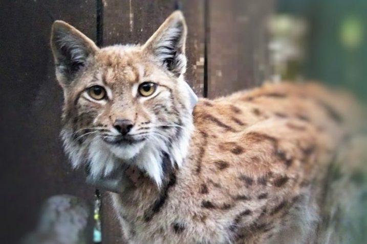 Foto Projekt LIFE Lynx