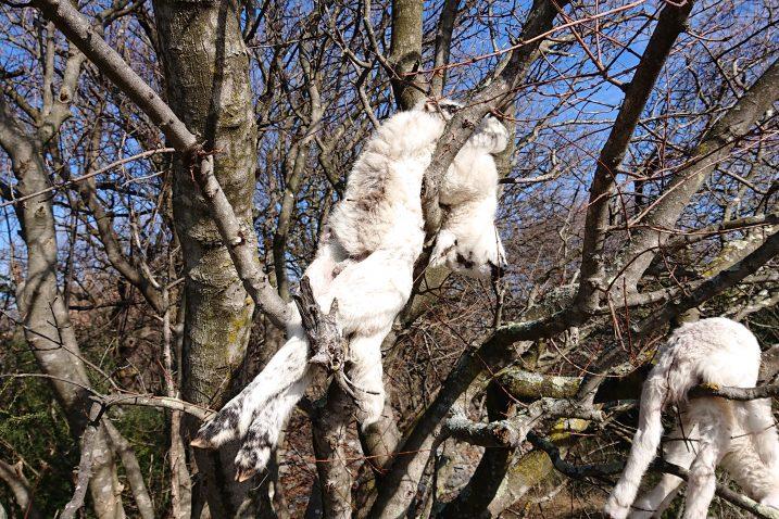 Mrtve životinje na drveću uz put koji vodi od Vrbnika prema malom selu Kampelje / Snimila čitateljica
