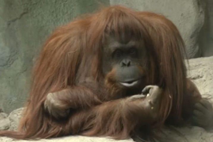 FOTO/YouTube Screenshot, Orangutan Sandra