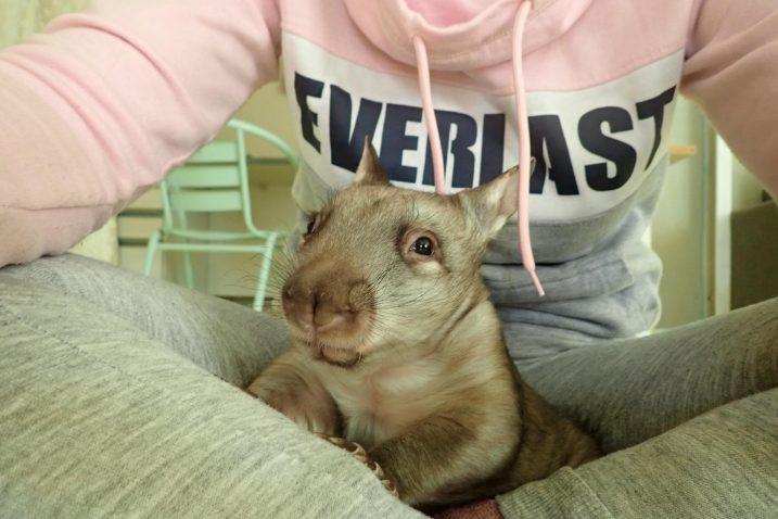 FOTO/Wombat Awareness Organization/Vombat u skloništu