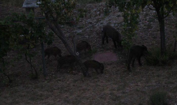 Desetak divljih svinja stiže u grižanske vrtove svake večeri oko 21,30 sati