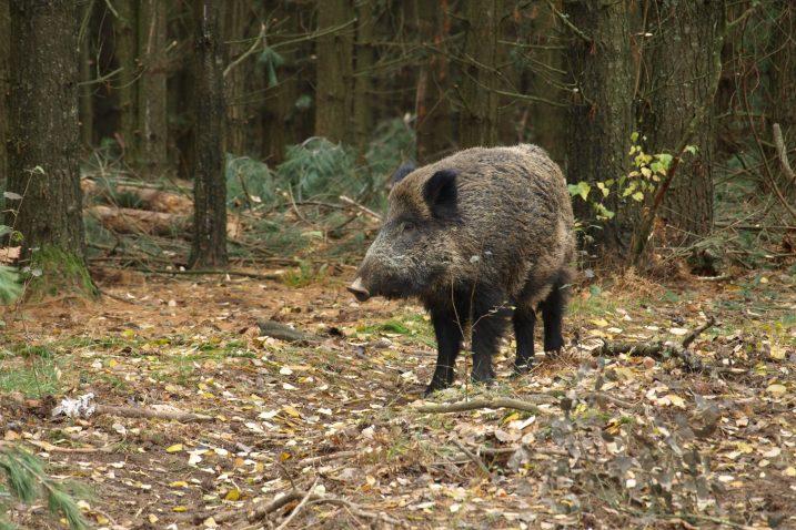 Divlje svinje prijetnja i ovcama, ali i ljudima / arhiva NL