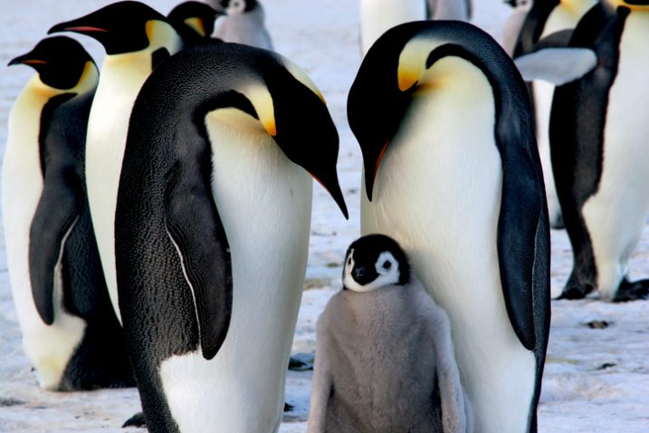 carski_pingvini