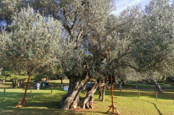 Danas na Brijunima ima oko 800 stabala maslina / Foto NP Brijuni