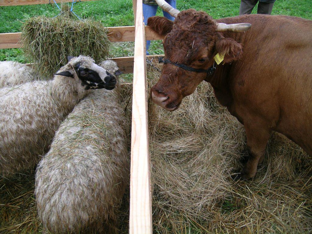 Ovca pramenka i buša