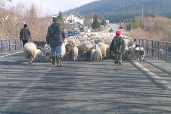 »Ili čuvaj doma ovce, il' 'ajde u Irsku po novce!« – uzrečica koju sve više ljudi ozbiljno shvaća / Snimio Marin SMOLČIĆ