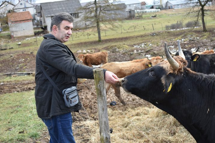 Franić trenutačno drži 22 grla buše i petero teladi / Foto M. SMOLČIĆ