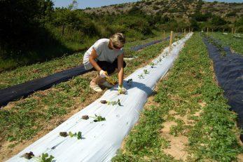Općina Omišalj ovih je dana pokrenula još jednu akciju sufinanciranja nabave voćnih sadnica, maslina i loznih cjepova / Foto M. TRINAJSTIĆ