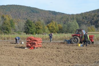 Od prošlogodišnjih 6 tona zasađenog sjemenskog krumpira, urod je bio izvrsnih 100 tona! / Foto M. KRMPOTIĆ