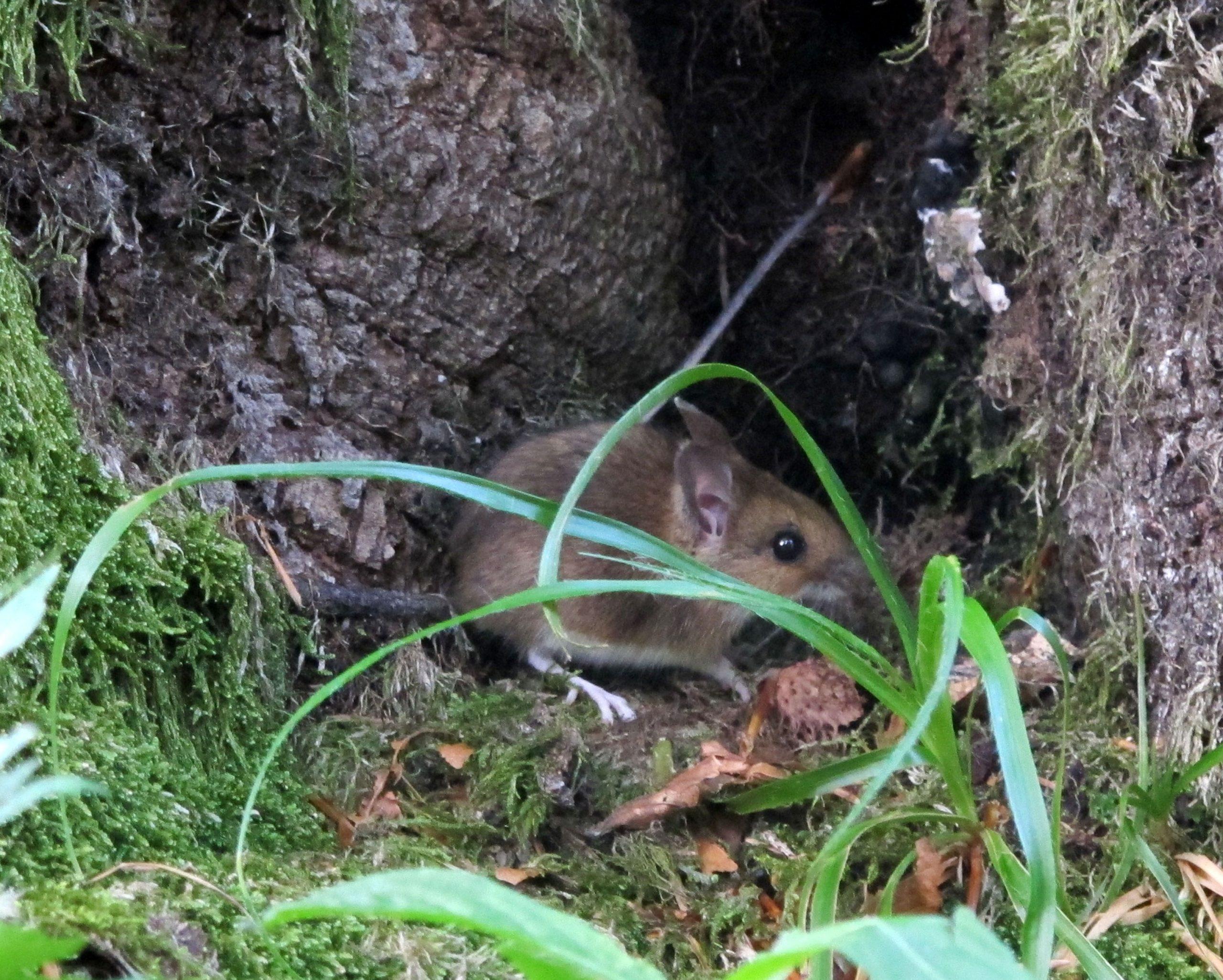 Mišja ili hemoragijska groznica s bubrežnim sindromom posljedica je kontakta s glodavcima ili njihovim izlučevinama u prirodi / Foto Goran KOVAČIĆ/PIXSELL