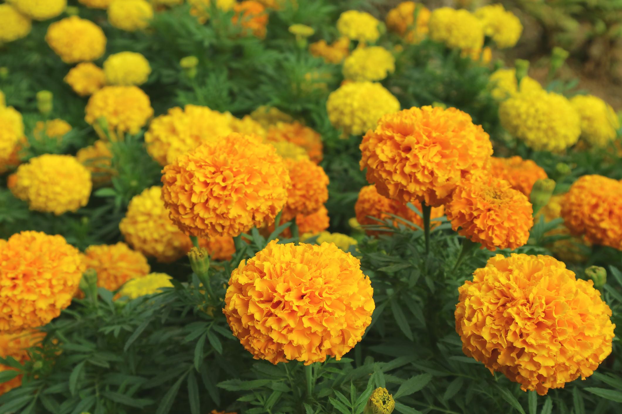 zuto_cvijece