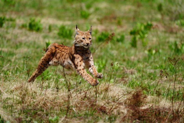 Foto Marko Matešić, LIFE Lynx