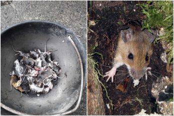 Uginuli miševi sakupljeni u dvorištu jedne kuće u Rup