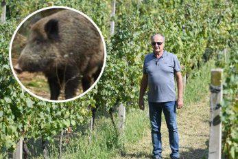 Miroslav Palinkaš u vinogradima Vinarije Pavlomir