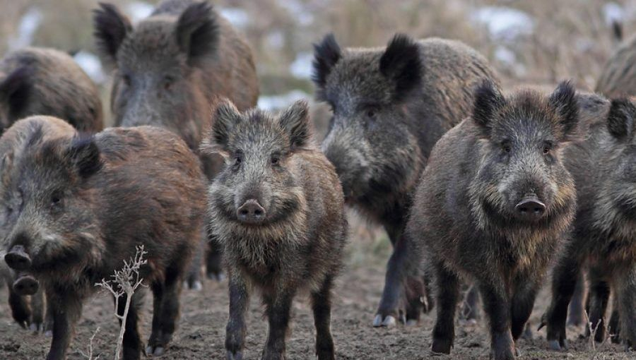 Odrasli primjerci divlje svinje mogu biti visoki 90-100 cm, a dugački 120-160 cm